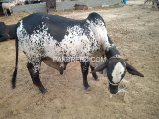 Bachra for sale