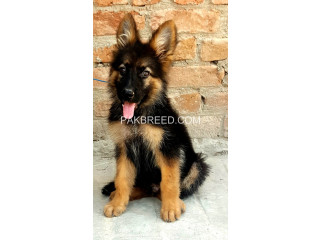 German Shepherd double coat pup 2.5 months