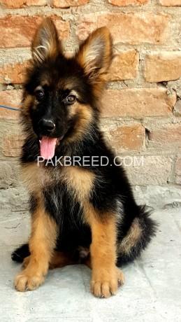 german-shepherd-double-coat-pup-25-months-big-0