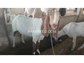 Tapra Goat for SALE at AQ Goat Farm