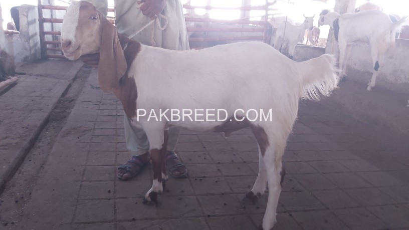 tapra-goat-for-sale-at-aq-goat-farm-big-4