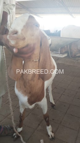 tapra-goat-for-sale-at-aq-goat-farm-big-3