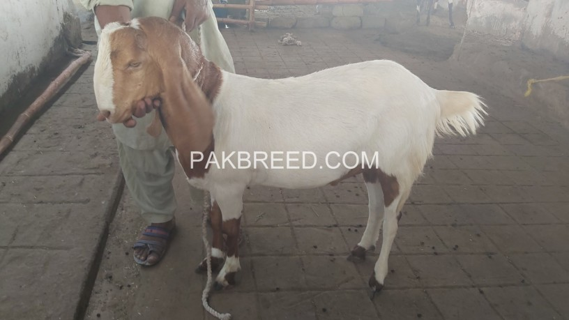 tapra-goat-for-sale-at-aq-goat-farm-big-2