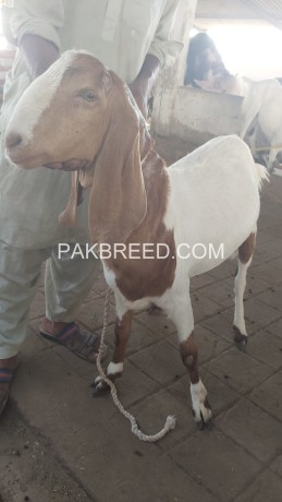 tapra-goat-for-sale-at-aq-goat-farm-big-1
