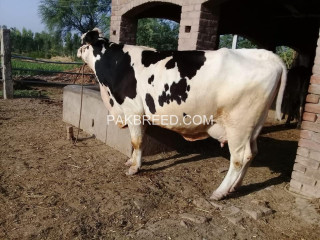 Freisian cow for sale
