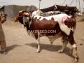bulls-for-eid-2-teeth-small-2