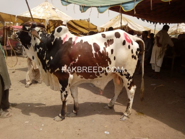 bulls-for-eid-2-teeth-big-1