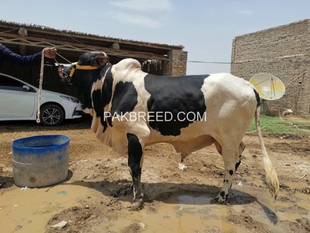bulls-for-eid-2-teeth-big-4