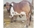 bachray-for-sale-for-qurbani-small-0