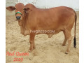 bachray-for-sale-for-qurbani-small-1