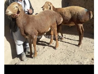 Turki dumbay for qurbani