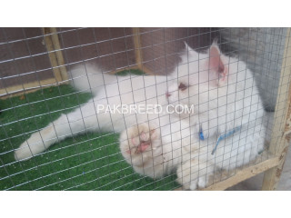 Persion cat white coloer beautifull face long hair