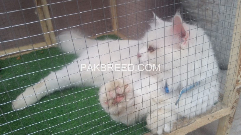 persion-cat-white-coloer-beautifull-face-long-hair-big-0