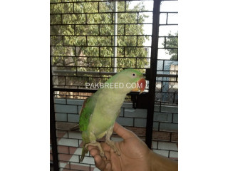 Female Raw Parrot