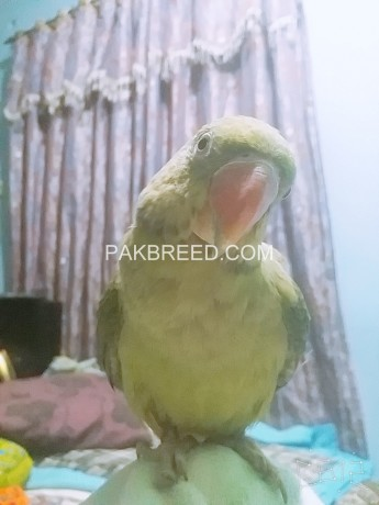 female-raw-parrot-big-2