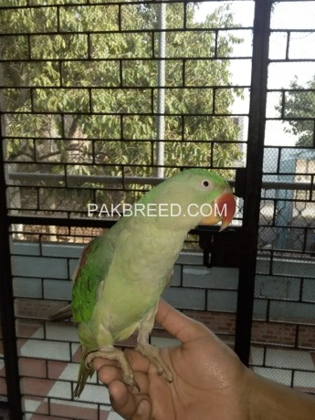female-raw-parrot-big-0