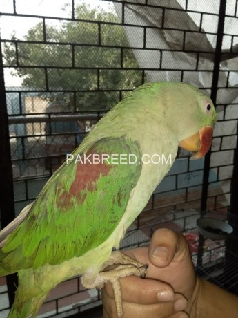 female-raw-parrot-big-1