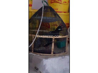 Black francolin (kala teetar)