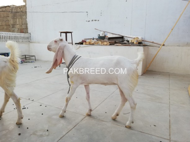 goat-pair-for-sale-big-1