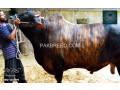 qurbani-bull-for-sale-small-1