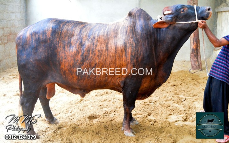qurbani-bull-for-sale-big-0