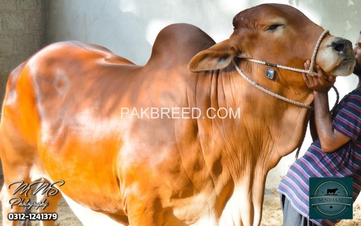 qurbani-bull-for-sale-big-2