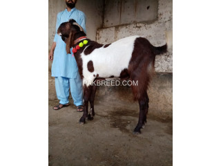Ablak beetal bakra for sale
