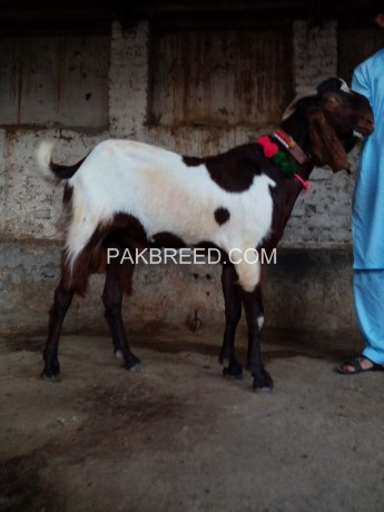 ablak-beetal-bakra-for-sale-big-1