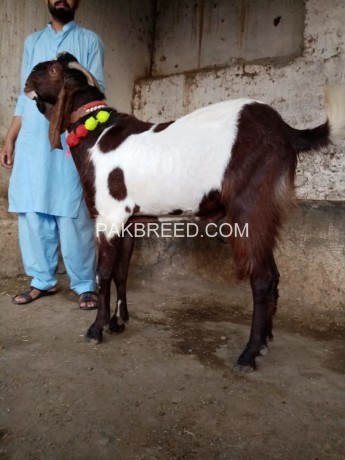 ablak-beetal-bakra-for-sale-big-0