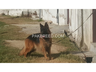 German shephard long coat male