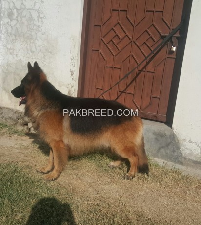 german-shephard-long-coat-male-big-1