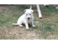 white-gsd-pups-available-for-sale-small-4