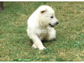 white-gsd-pups-available-for-sale-small-1