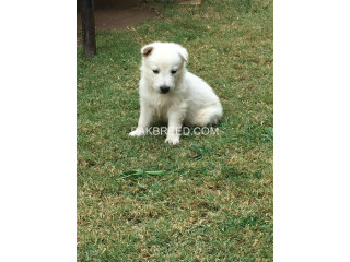 White GSD pups available for sale