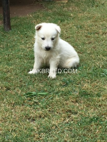 white-gsd-pups-available-for-sale-big-0