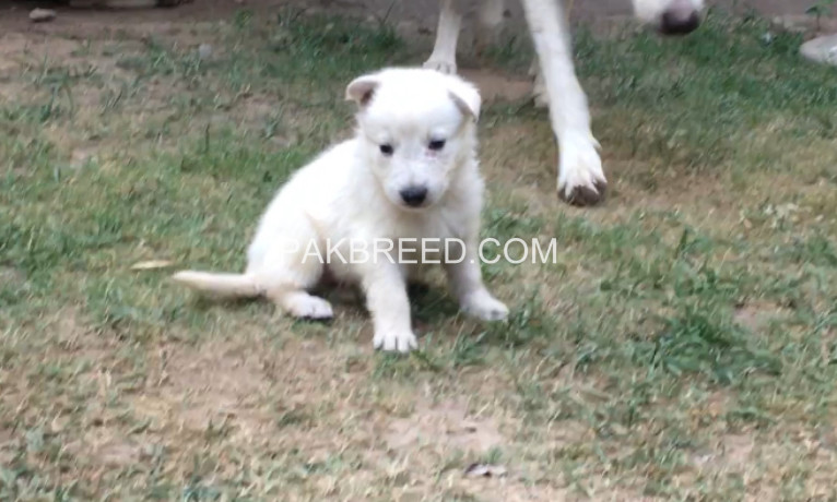 white-gsd-pups-available-for-sale-big-4