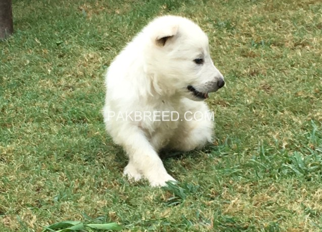 white-gsd-pups-available-for-sale-big-1
