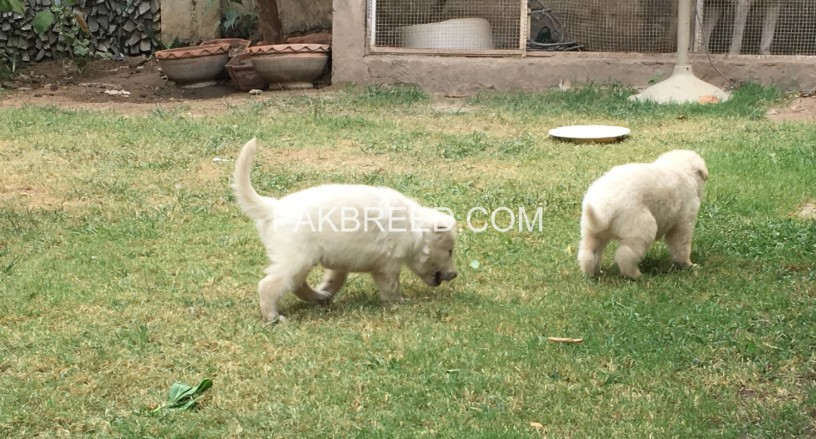 white-gsd-pups-available-for-sale-big-2