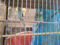 blue-ringneck-small-2