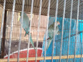 blue-ringneck-small-0