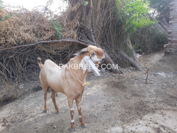 goat-for-sell-big-0