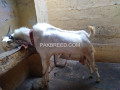 gulabi-bakra-for-sale-small-3