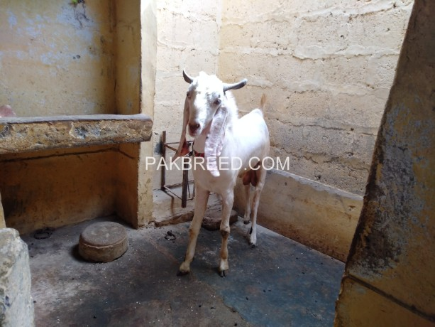 gulabi-bakra-for-sale-big-4