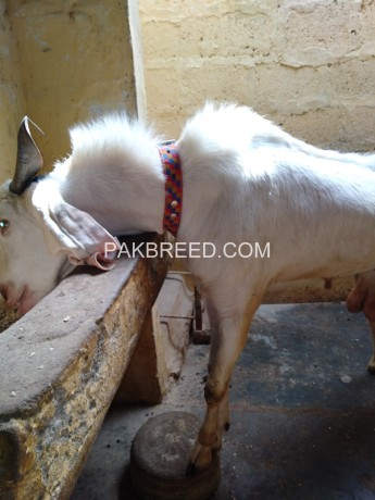 gulabi-bakra-for-sale-big-2