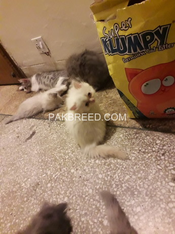 triple-coat-persian-kittens-big-2