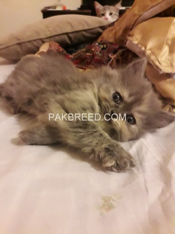 triple-coat-persian-kittens-big-3
