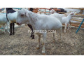 bakra-for-sale-in-karachi-small-0