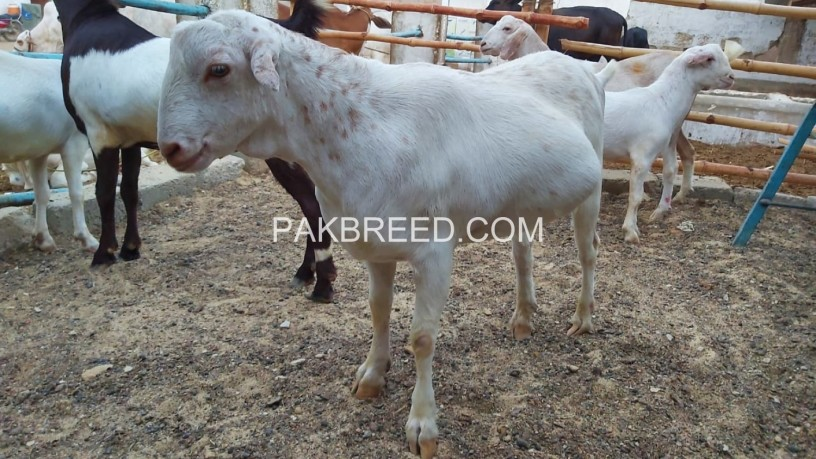 bakra-for-sale-in-karachi-big-0