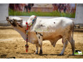 bulls-for-qurbani-small-2