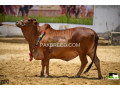 bulls-for-qurbani-small-0